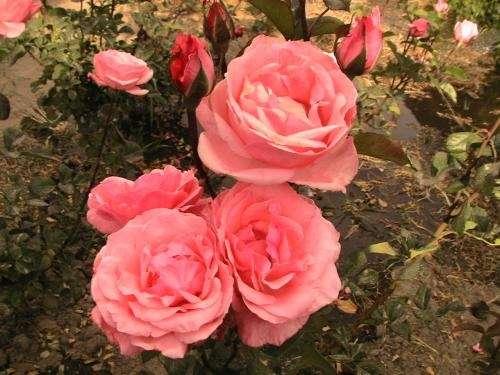 Plantas ornamentales plantones de rosas