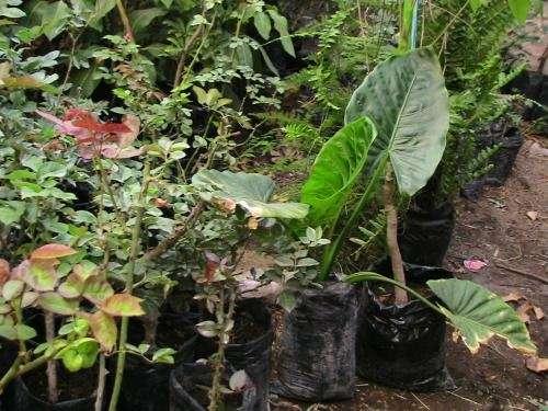 Fotos de plantas ornamentales plantones de rosas for Vendo plantas ornamentales