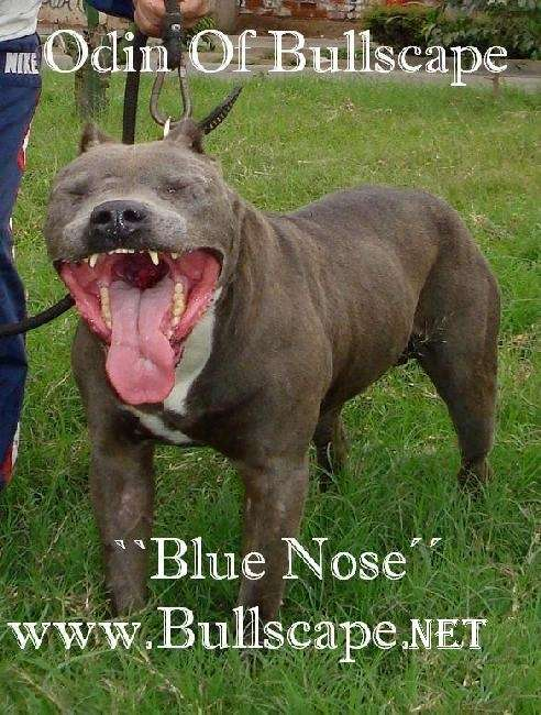 BLUE AMERICAN PIT BULL TERRIER - PITBULL BLUE NOSE 4