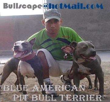 BLUE AMERICAN PIT BULL TERRIER - PITBULL BLUE NOSE 1