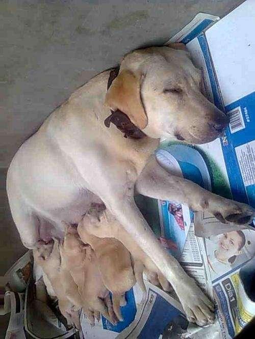 Se vendo perros labradores legitimos color hueso y caramelo - Lima