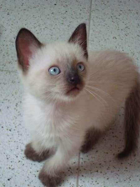 Imagenes de los gatos siameses bebés - Imagui