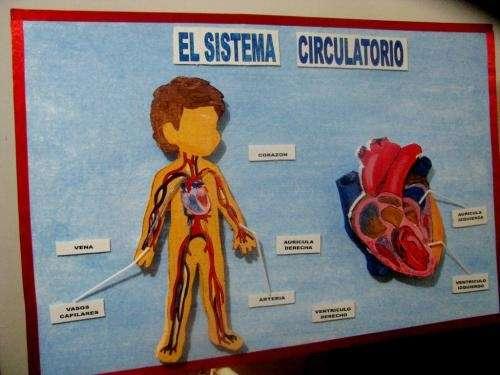 Fotos de Maqueta Sistema Circulatorio - Lima - Otros Artículos