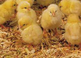 Venta pollos doble pechuga bebes al por mayor