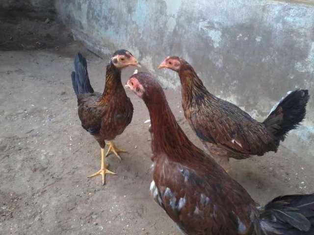 Espuelas de Gallos Finos Fotos de Gallos Finos de Pelea