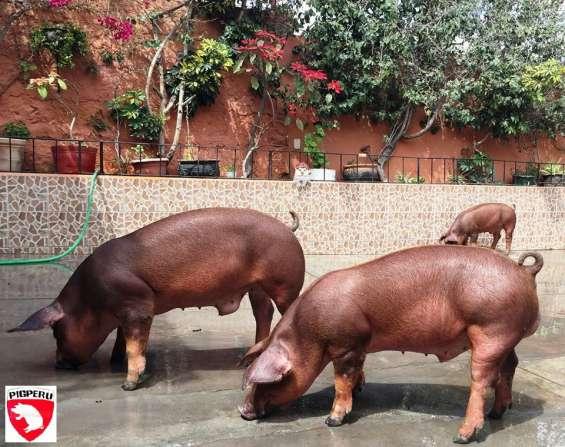 Reproductores porcinos arequipa: marranas y verracos