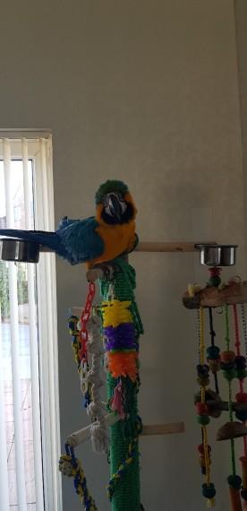 2 super tame 16 weeks old blue y gold macaw babies