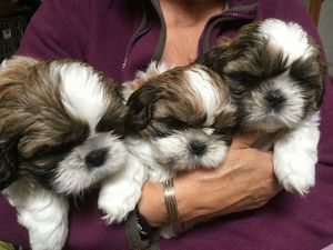 Hermosos cachorros raza shitzu