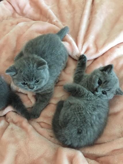 Preciosos gatitos británicos de pelo corto azul