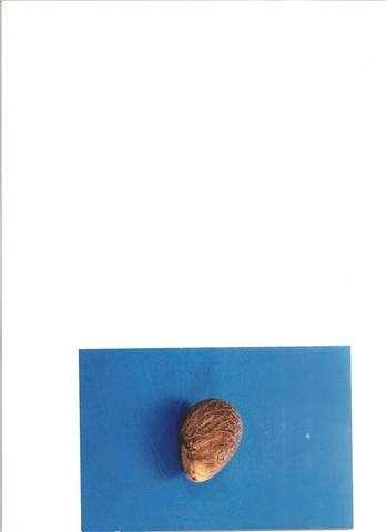 Vendo tagua