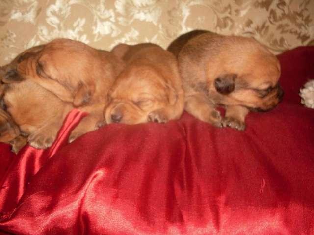 Vendo cachorritos cruse de labradora con rottweiler