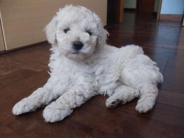Vendo cachorros french poodle medianos