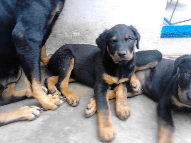 Vendo cachorritos de rottweiler linea alemana