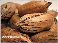 Compra y venta de pecana con cascara variedad maja