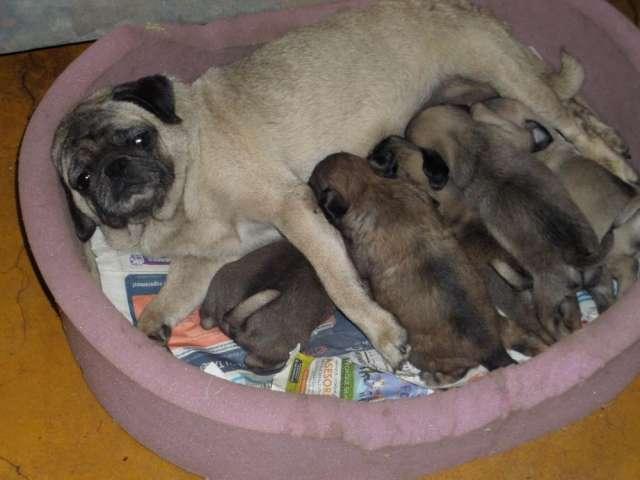 Vendo lindos cachorritos pug carlino 900.00 soles