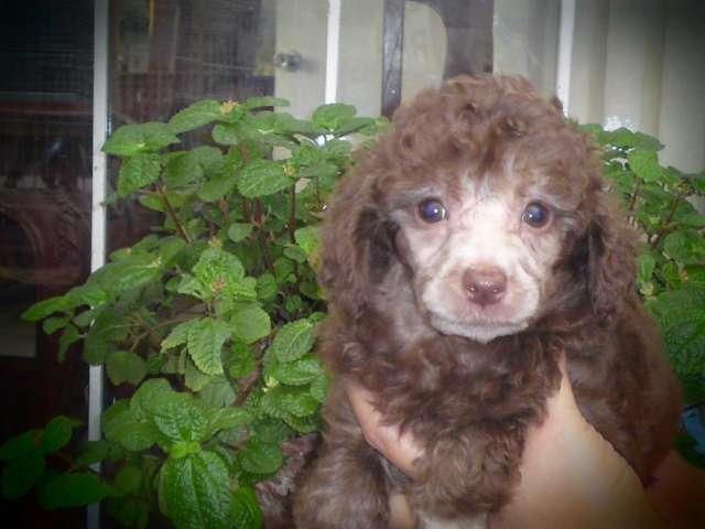 Lindos poodle caniche marrones, de raza pura