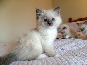 Daadorable ragdoll kittens -