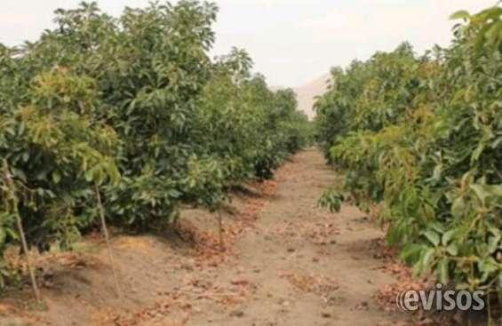 Terrenos agrícolas con paltas
