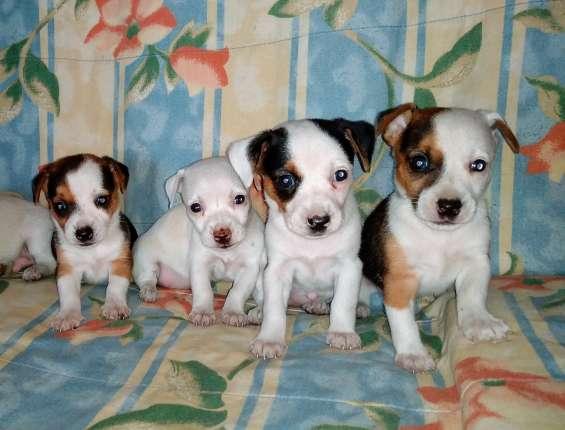 Jack russell terrier oferto